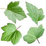 Currant leaves. Stock Images