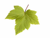 Currant leaves. Isolated on a white background Stock Image