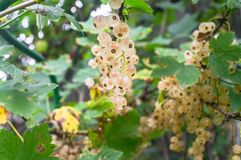 Bunches of ripe white currant on the shrub. The currant is one of the most widespread berry shrubs of the Russian garden. It grows practically in all territory Royalty Free Stock Photo