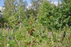 Currant in overgrown garden Stock Photo