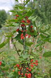 Currant in overgrown garden Royalty Free Stock Image