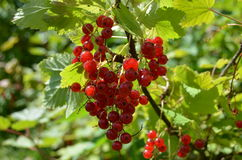 Currant. Red currant with bright greenery Royalty Free Stock Images