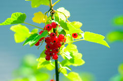 Currant. Red currant on a bush Royalty Free Stock Images