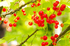 Currant Royalty Free Stock Photography