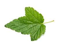 Currant tree leaf Royalty Free Stock Image