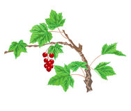Currant twig with red berries. Twig currant garden bush with red berries vector illustration Stock Image