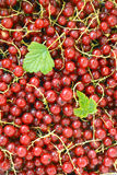 Currants. Close up of red currants royalty free stock images