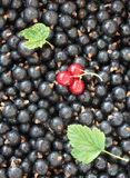 Currants. Close up of black and red currants royalty free stock image