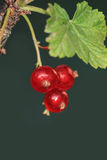 currants Fotografia Stock