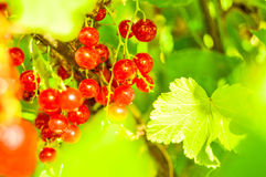 Currants royalty free stock photography