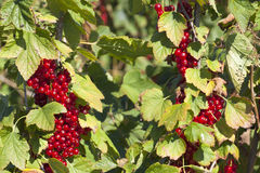 Currants on the bush Stock Photography