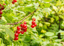 Currants in the garden after the rain Royalty Free Stock Images