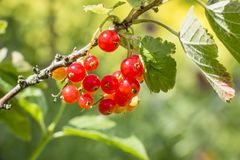 Currants on the green bush. Currants hanging on the green bush stock photography