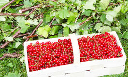 Currants are harvested Royalty Free Stock Photo