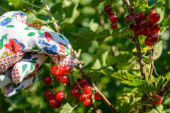 Currants are harvested - Closeup Royalty Free Stock Photos