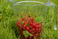 Currants in measuring cup Stock Photo