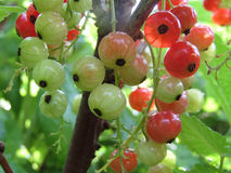 Currants stock images