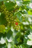 Currants on shrub Stock Images