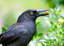 currawong Obrazy Royalty Free