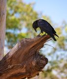 Currawong Royalty Free Stock Image