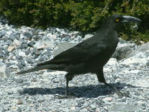 Currawong - Australia royalty free stock images