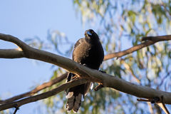 Currawong black passerine bird with yellow eyes perching on Euca Stock Image