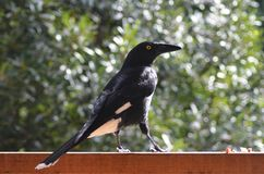 A currawong standing on a fence. A currawong is being fed on a wooden fence. He is standing in profile, against a background of green. His feathers are a black royalty free stock photo