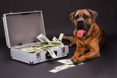 Currency in metal case, cane corso. Big muscular italian mastiff cane corso and silver case full of cash on dark background, studio shot. Wealth and prosperity Stock Images