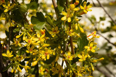 Current Blossoms Blackcurrent - Ribes nigrum. Yellow Spring Flowers stock photos