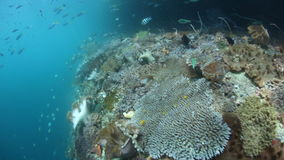 Current and Reef Drop Off in Raja Ampat. Corals and fish thrive in a current on a shallow reef in Raja Ampat, Indonesia. This tropical region is known for its stock video footage
