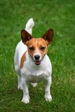 Currish jack russel dog Stock Photos