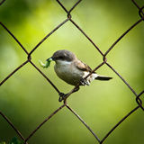 curruca一点sylvia whitethroat 免版税库存图片