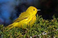 Curruca amarilla Foto de archivo libre de regalías