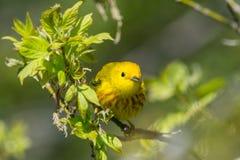 Curruca amarilla Imagen de archivo