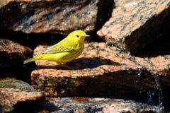Curruca amarilla americana Imagen de archivo
