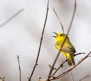 Curruca amarilla americana Fotos de archivo libres de regalías