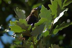 Curruca amarilla de la garganta que se sienta en árbol de la bellota Fotos de archivo