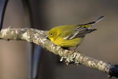Curruca amarilla en el miembro de árbol Imagenes de archivo