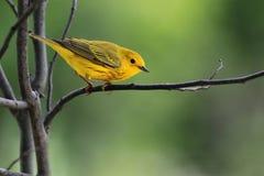 Curruca amarilla en primavera Imagenes de archivo