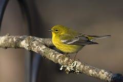 Curruca amarilla encaramada en un miembro Imagen de archivo libre de regalías