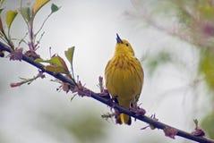 Curruca amarilla que canta Fotos de archivo