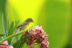 curruca Amarillo-cejuda que descansa sobre la flor Foto de archivo libre de regalías