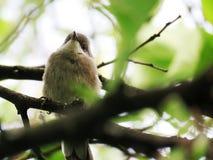 Curruca cabecinegra Â撒丁岛鸣鸟 库存图片