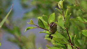 Curruca de juncia, schoenobaenus del Acrocephalus, cantando en un arbusto en un día soleado, Escocia, julio, tarde almacen de video