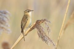 Curruca de juncia, schoenobaenus del Acrocephalus, canto del pájaro encaramado Fotografía de archivo