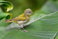Curruca de nuevo mundo del peregrina de Tennessee Warbler - de Leiothlypis que cría en Norteamérica del este e inviernos en centr fotos de archivo libres de regalías