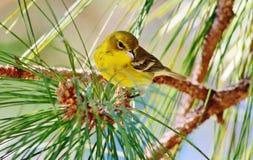 Curruca del pino Fotografía de archivo libre de regalías