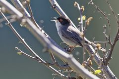 Curruca melanocephala, Sylvia melanocephala, Sardinian Warbler. Samtkopf-Grasmücke, Curruca melanocephala, Sylvia melanocephala, Sardinian Warbler royalty free stock photo
