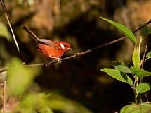 Curruca roja Imagen de archivo libre de regalías