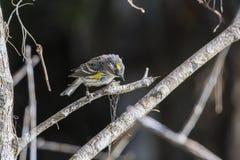 Curruca throated amarilla que mira abajo fotos de archivo